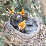 Baby Robins Being Fed